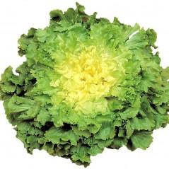 La salade scarole